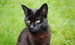 animal, small to medium-sized cats, pet, black cat, fauna, bombay, cat, carnivoran, whiskers,