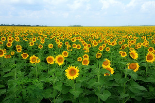 Sunflower Field 02