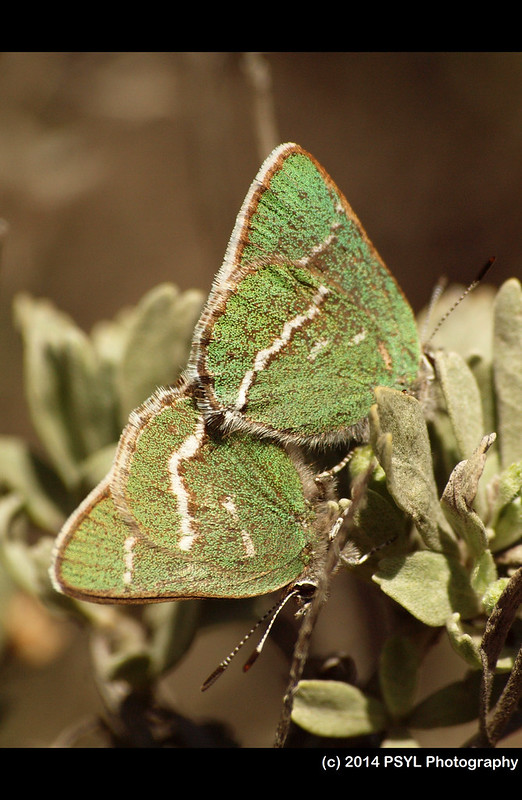 Mating Sheridan's Green Hairstreaks (Callophrys sheridanii)