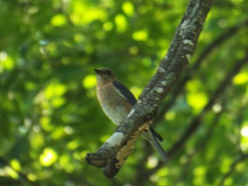 eastern bluebird, bob woodruff park