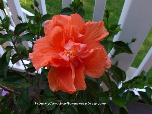 HIbiscus Flower 4