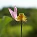 Small photo of Aloofness Lotus