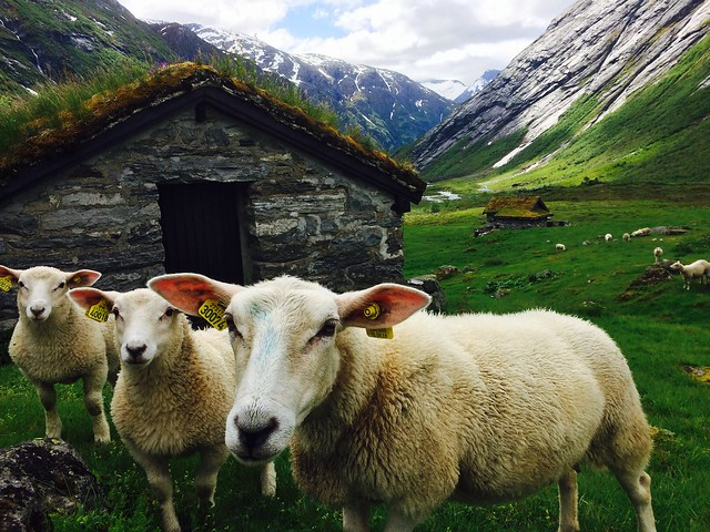 sheep, norway, nature, mountains