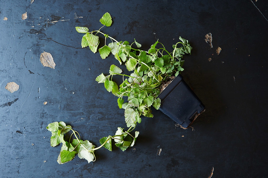 Fresh Lemon Balm Plant, from Food52