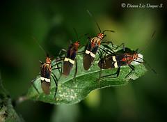 Hemiptera: Coreidae