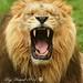 lion by roywez67