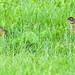 Small photo of American Robin & fledgling