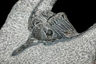 Psychopige elegans Termier & Termier, 1950 - 95 mm