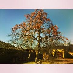 Goldcrest tree