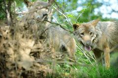 GaiaZOO - Grijze wolf