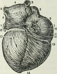 """Image from page 333 of """"Human physiology"""" (1856)"""