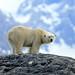 Polar Bear in Hornsund (Bret Charman)