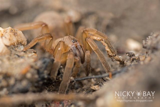 Mangrove Trapdoor Spider (Idioctis sp.) - DSC_9065