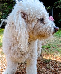 standard poodle, dog breed, animal, dog, cavachon, pet, lagotto romagnolo, poodle crossbreed, dandie dinmont terrier, poodle, cockapoo, goldendoodle, spanish water dog, bolognese, barbet, carnivoran,