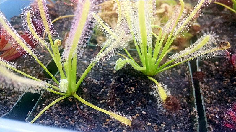 Drosera capensis 'Albino' with new bloom stalks.