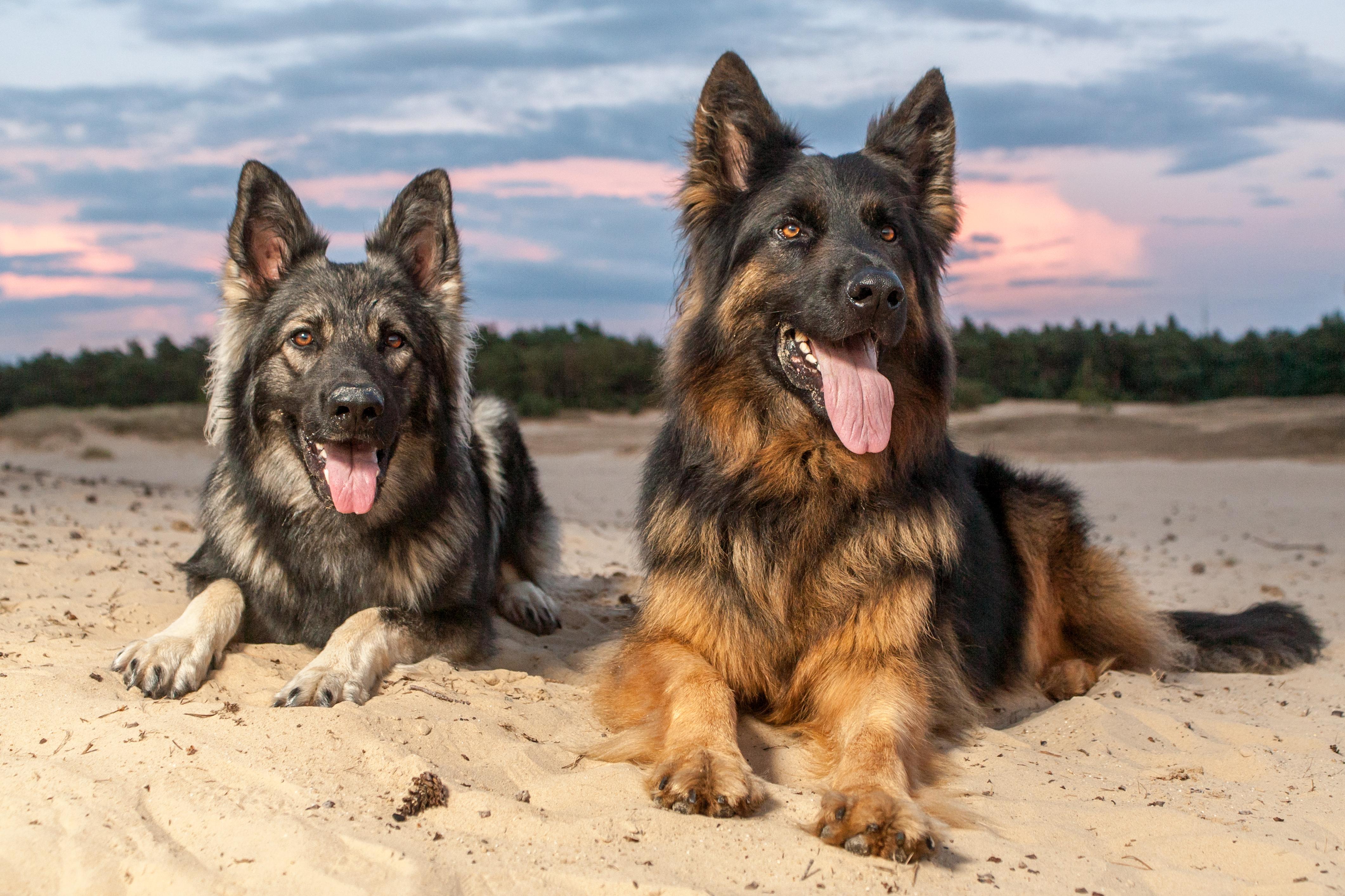 Alsatian Dog Puppy Price