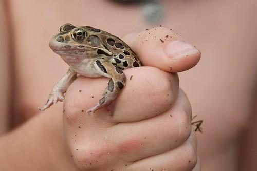Beacon Shores Trip - August 2014 - Leopard Frog