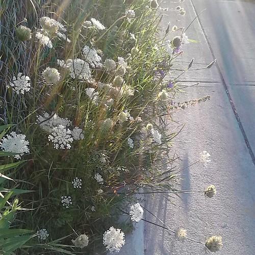 Queen Anne's Lace by the sidewalk, Dupont near Dovercourt #toronto #Torontophotos #dupontstreet #dovercourtroad #flowers #queenanneslace  #Dovercourtpark
