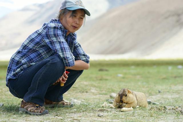 Wild marmot. Ladakh, 09 Aug 2014. 433