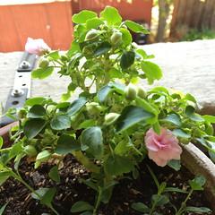 """California Rose"""" align="""