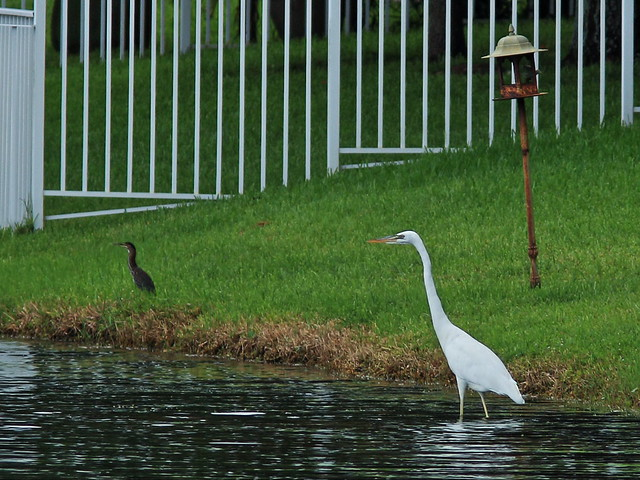 Great White Heron with Green Heron 20140812