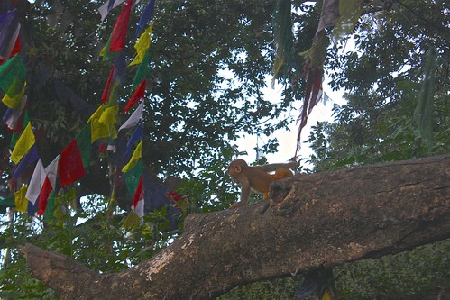 this baby monkey was ruining all of the prayer flags! bad karama for this one!