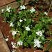 Small photo of Apocynaceae.Catharanthus roseus