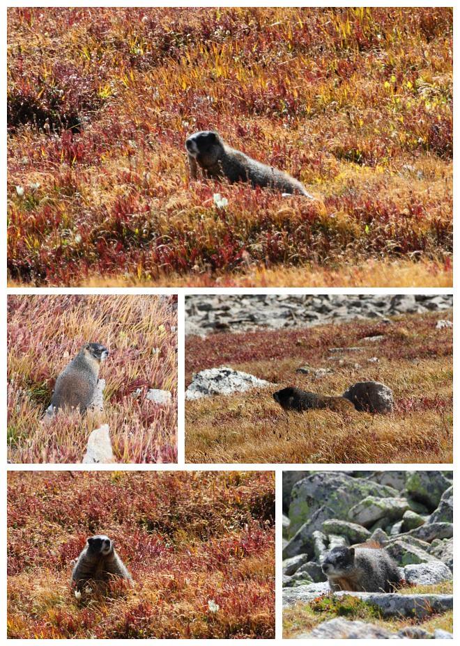 Marmots at Mt Audubon