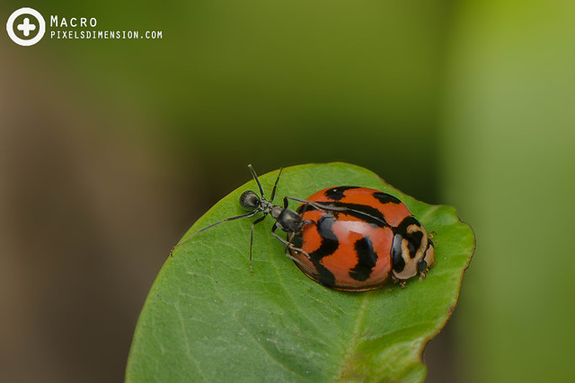 A Ladybird's first line of defence- Cheilomenes sexmaculata