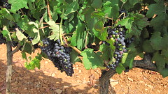 Mallorcan grapes