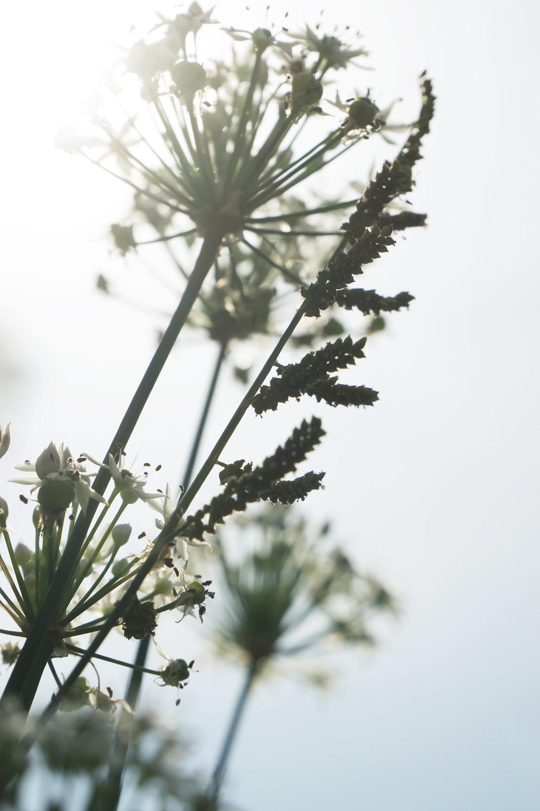 九月【金針、韭菜花】
