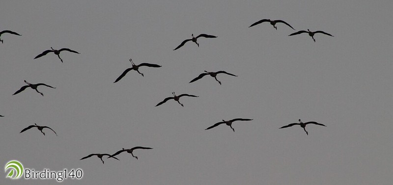 Flamingos flying over the Cantarranas lagoon