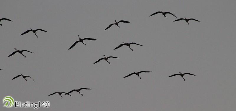 Flamingos flying over the Cantarranas lagoon