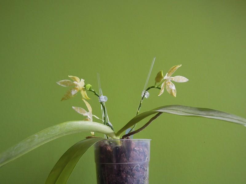 Phalaenopsis hieroglyphica 15119294079_61b24bbd08_c