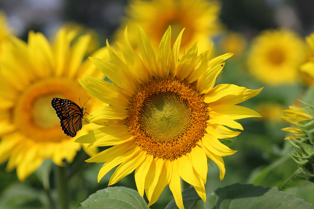 Sunflower and Butterfly (Monarch) | Sunflower and ...