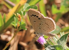 Sri Lanka Butterflies & Moths