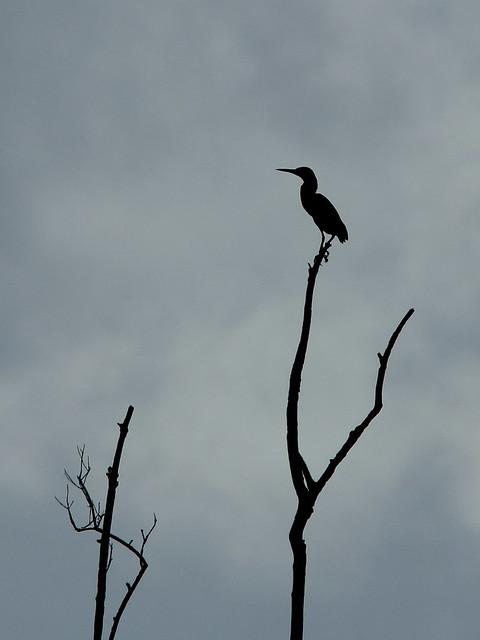 Green Heron 20130907