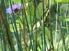 occhieggia del viola