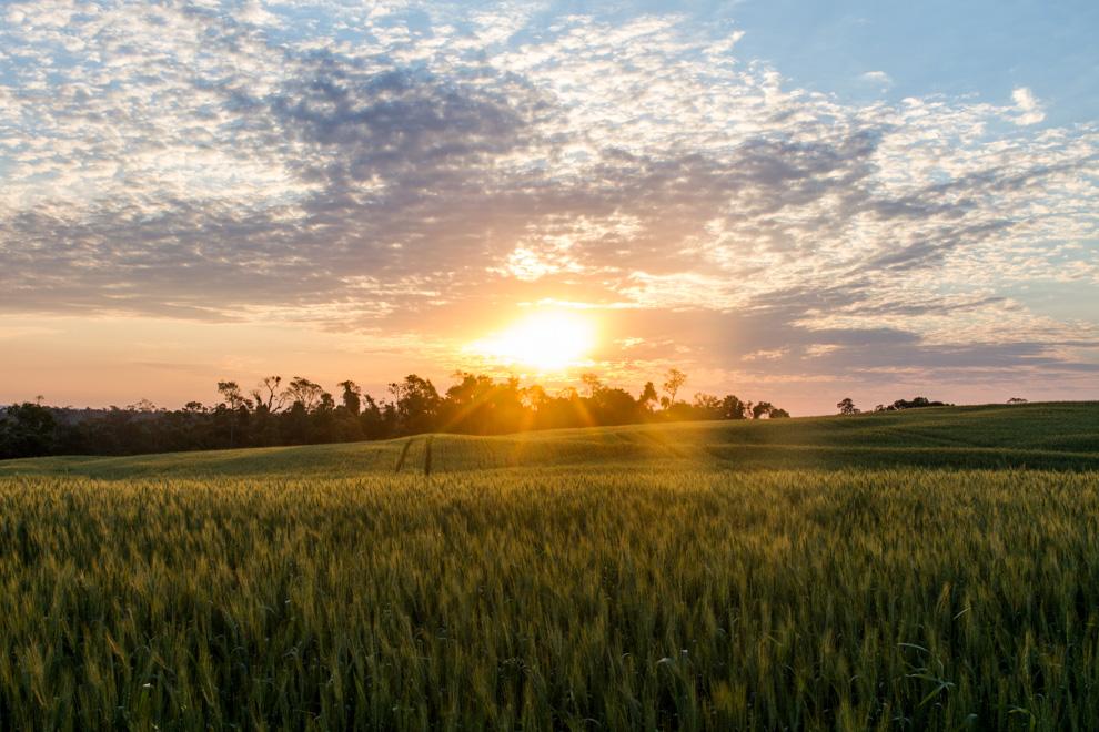 Los ultimos rayos de sol se posan sobre un campo de trigo, en los terrenos que limitan con el Parque Nacional Caazapá (Tetsu Espósito)