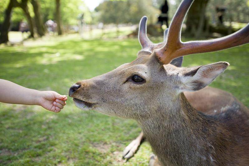 Silka deer at Nara deer park