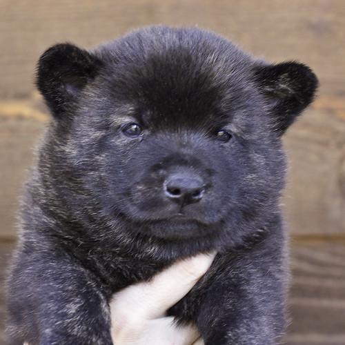 Nori-Litter2-30Days-Puppy4(male)a