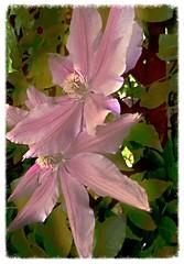 blossom(0.0), shrub(0.0), clematis(1.0), flower(1.0), plant(1.0), lilac(1.0), flora(1.0), petal(1.0),