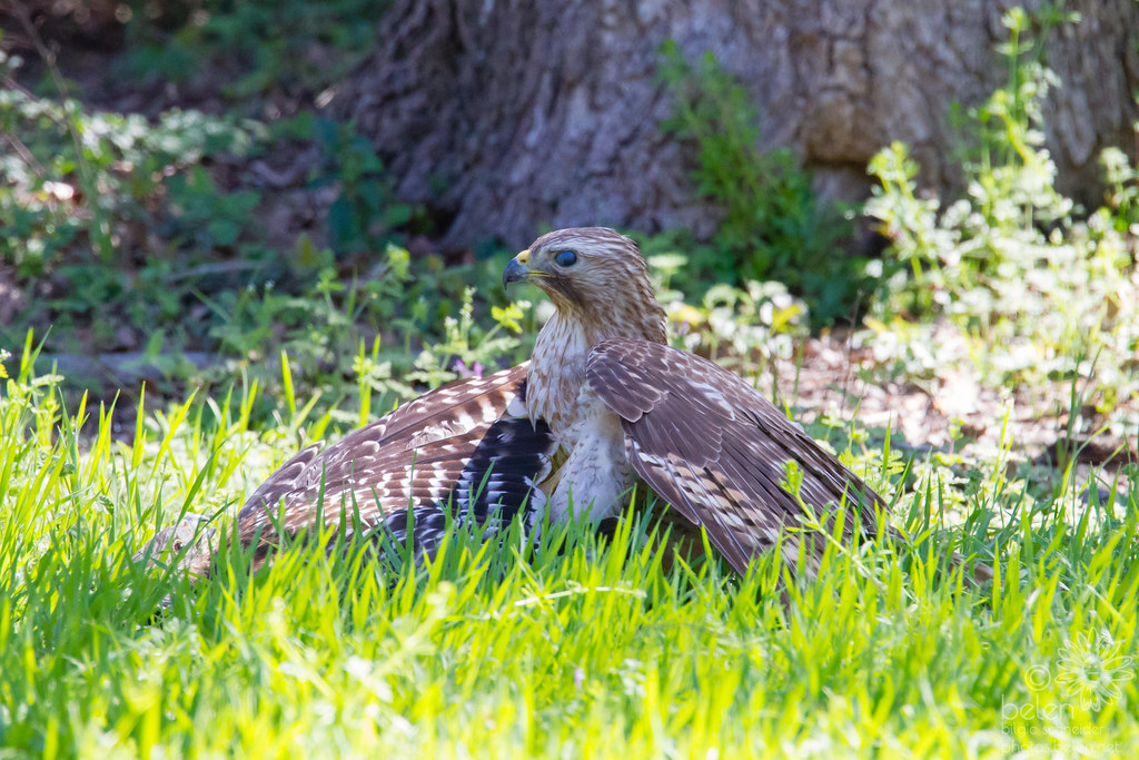 Red-shouldered Hawk Kerfuffle Series