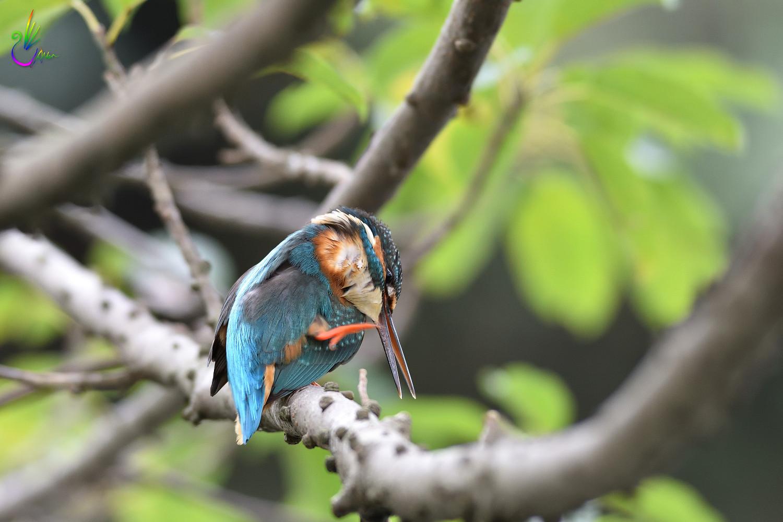 Common_Kingfisher_4469