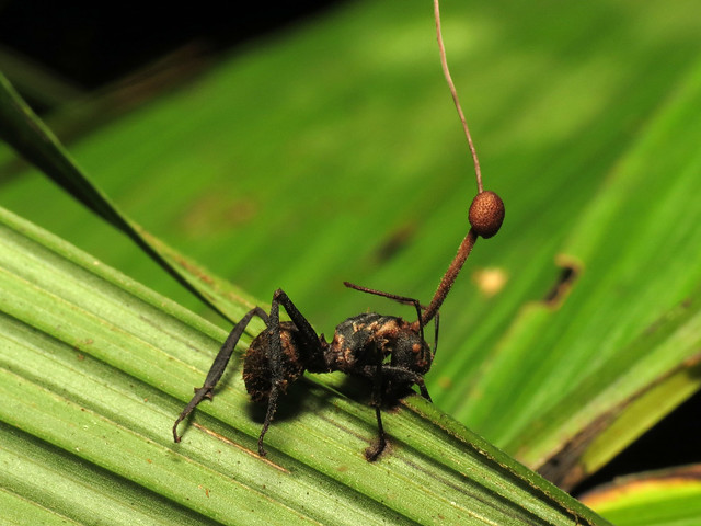 Ant Killed by a Fungus
