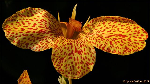 Gigant_Orchidee_1_DxO, Sony SLT-A55V, Sigma 18-250mm F3.5-6.3 DC OS HSM