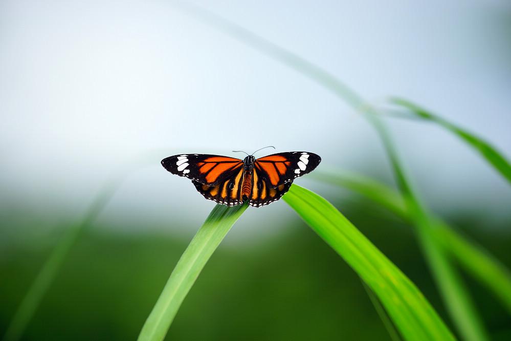 斑蝶屬虎斑蝶14S101