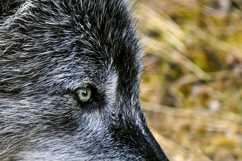Eye of the Wolf