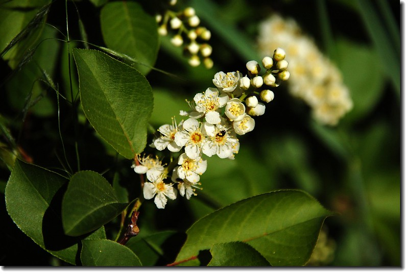 Chokecherry 1