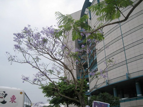 2014 台北.士林.科教館.藍花楹